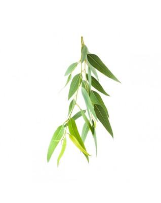 MOKOSH Olejek eteryczny 100% Eukaliptus